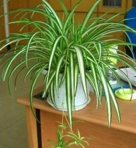 绿植/银边吊兰-订花人鲜花