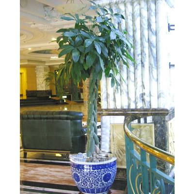绿植/发财树-订花人鲜花